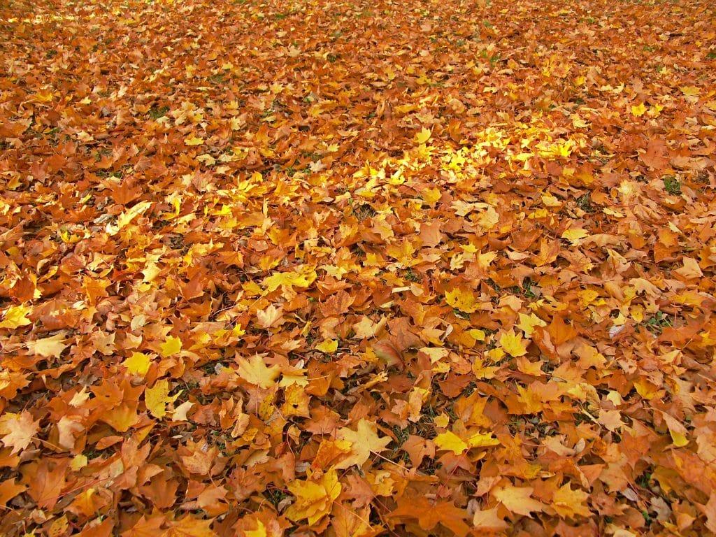 dead maple leaves