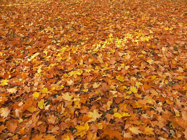 dead maple leaves autumn
