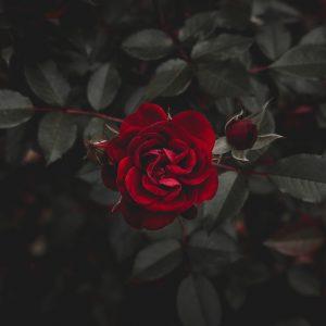 Dark Rose Perfume