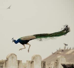 Peacock Jumping