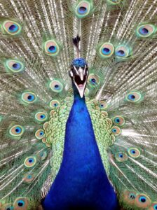 Peacock Tail Fully Open