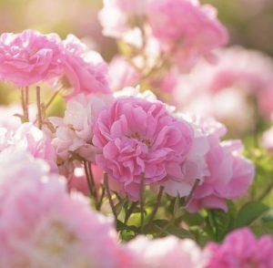Centifolia rose in Grasse