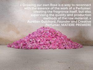 Rose harvest in Grasse